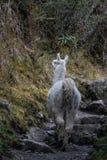 Un'alpaga bianca selvaggia cammina avanti su Inca Trail famoso immagini stock libere da diritti