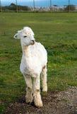 Un'alpaga bianca sveglia nel profilo Fotografia Stock Libera da Diritti