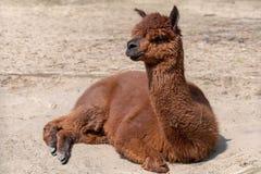 Un alpaga détend au sol poussiéreux un jour ensoleillé photo stock