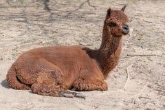 Un alpaga détend au sol poussiéreux un jour ensoleillé photos stock