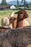Un'alpaga di marrone solleva la sua testa sopra un gruppo di alpaca Fotografie Stock Libere da Diritti