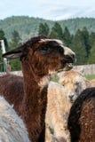 Un'alpaga di marrone solleva la sua testa sopra un gruppo di alpaca Fotografia Stock