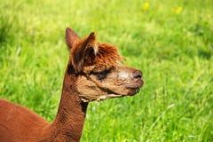 Un'alpaga mangia una lama di erba Fotografia Stock Libera da Diritti