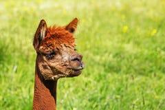 Un'alpaga mangia una lama di erba verde Fotografie Stock Libere da Diritti