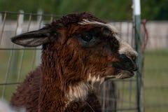 Un'alpaga marrone che sembra giusta Immagine Stock Libera da Diritti