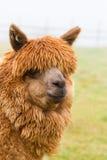 Un'alpaga marrone pelosa Immagine Stock Libera da Diritti