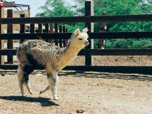 Un'alpaga nell'azienda agricola dell'alpaga Immagine Stock Libera da Diritti