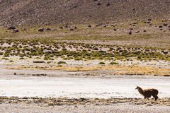 Un'alpaga nella riserva nazionale di flamenco di Los Immagini Stock