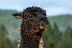 Un'alpaga nera che si alimenta in un pascolo Immagini Stock Libere da Diritti