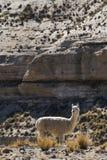 Un alpaga sauvage dans un secteur sec près de Cusco, Pérou photographie stock