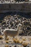 Un alpaga sauvage dans un secteur sec près de Cusco, Pérou image libre de droits
