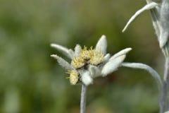 Un alpinum del Leontopodium del fiore dell'edelweiss Immagine Stock Libera da Diritti