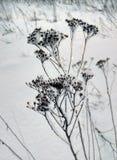 Un'alta erba asciutta nel gelo sta su un prato innevato Fotografia Stock Libera da Diritti