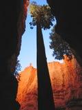 Un alto árbol de la secoya en barranca Fotografía de archivo libre de regalías