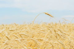 Un alto primo piano maturo alto del cereale del pieno fiore su un pomeriggio caldo di estate contro un giacimento, un grano e un  Immagine Stock Libera da Diritti