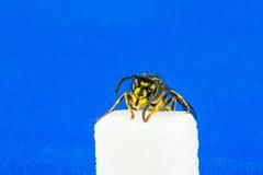 Un alto vicino della vespa, sedendosi su un cubo dello zucchero con fondo blu Fotografie Stock