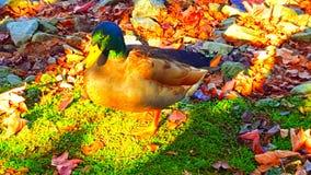 Un'altra anatra di Mallard Fotografie Stock