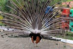 Un'altra vista, un pavone con la piuma aperta fotografie stock