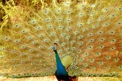 Un altro pavone Fotografia Stock