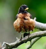 Un Américain de regard hérissé Robin photos libres de droits