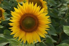 Un amarillo floreciente hermoso del girasol en el campo Foto de archivo
