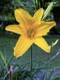 Un amarillo perfecto daylilly abierto de par en par fotografía de archivo
