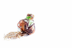 Un'Amaryllis Bulb con le radici Immagine Stock
