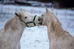 Un amore di due cavalli bianchi Fotografia Stock Libera da Diritti
