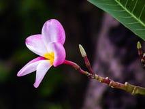 Un amour de la fleur douce de beau frangipani naturelle Photographie stock libre de droits