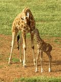 Un amour de mères. Images libres de droits