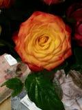 Un anaranjado se levantó Imagenes de archivo