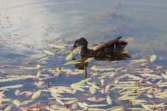 Un'anatra che galleggia in acqua immagine stock