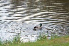 Un'anatra che nuota in un lago - Francia Immagini Stock Libere da Diritti