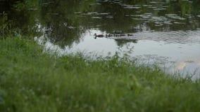 Un'anatra con le piccole anatre galleggia lungo l'acqua Riscaldi il giorno di estate soleggiato e l'acqua calma sul lago archivi video