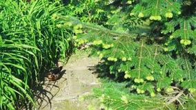 Un'anatra di legno maschio variopinta cammina lungo un percorso fra alta erba costiera, vicino al suo nido un giorno soleggiato video d archivio