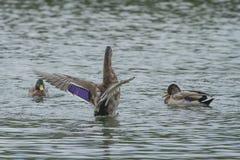 Un'anatra femminile di Mallard che agita le sue ali Immagine Stock