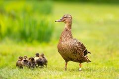 Un'anatra fiera con cinque bambini che camminano nell'erba immagine stock libera da diritti