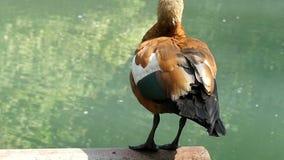 Un'anatra marrone chiaro ondeggia la sua piuma di coda in un lago nel slo-Mo stock footage