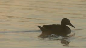 Un'anatra marrone nuota e cerca l'alimento in un lago al tramonto nel slo-Mo archivi video