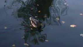 Un'anatra nuota sullo stagno stock footage
