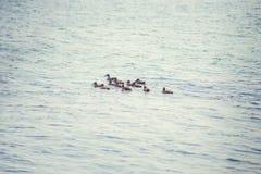 Un'anatra selvatica con una nidiata degli anatroccoli che nuotano lungo il lago Immagini Stock Libere da Diritti