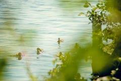 Un'anatra selvatica con una nidiata degli anatroccoli che nuotano lungo il lago Fotografia Stock