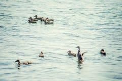 Un'anatra selvatica con una nidiata degli anatroccoli che nuotano lungo il lago Fotografie Stock Libere da Diritti