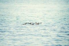 Un'anatra selvatica con una nidiata degli anatroccoli che nuotano lungo il lago Fotografia Stock Libera da Diritti