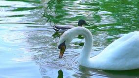 Un'anatra selvatica nuota da un cigno bianco, che prende qualcosa nell'acqua e mangia, movimento lento archivi video