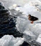 Un'anatra su un lago congelato Immagine Stock Libera da Diritti