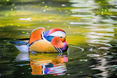 Un'anatra variopinta in acqua fotografia stock libera da diritti