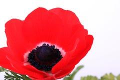 Un Anemone rosso Fotografie Stock Libere da Diritti