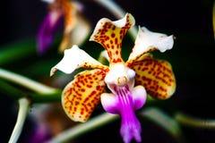 Un angle Vanda tricolore comme orchidée Photographie stock