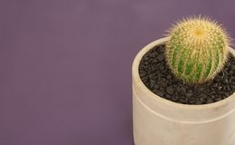 un angolo di 45 gradi del cactus su fondo viola Fotografia Stock Libera da Diritti